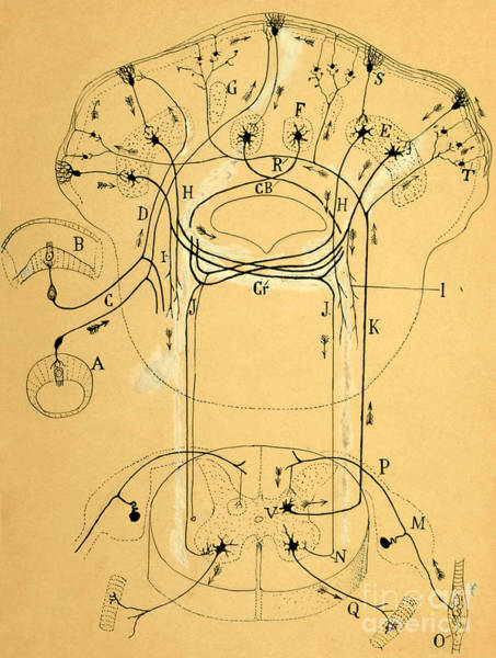 Histology Photograph - Brain Vestibular Sensor Connections By Cajal 1899 by Science Source