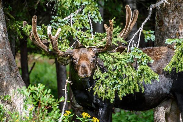 Photograph - Brainard Lake Moose by Robert Yone