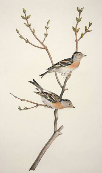 Wall Art - Photograph - Bramblings, 19th Century Artwork by Science Photo Library