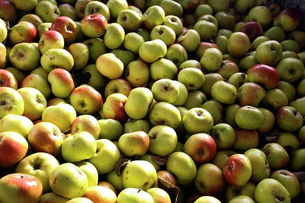 Malus Photograph - Bramley Apples by Victor De Schwanberg/science Photo Library