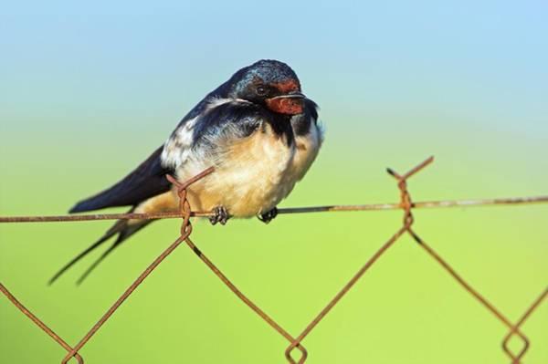 Barn Swallow Wall Art - Photograph - Bran Swallow On A Fence by Bildagentur-online/mcphoto-schaef