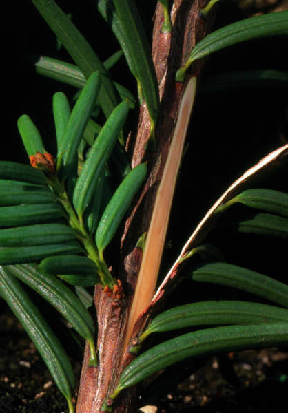 Western Pacific Photograph - Branch Of Pacific Yew by David Nunuk/science Photo Library