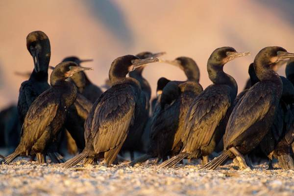 Phalacrocorax Auritus Wall Art - Photograph - Brandt's Cormorants by Christopher Swann