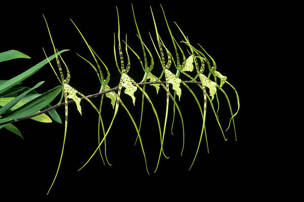 Rex Photograph - Brassia 'rex' by Geoff Kidd/science Photo Library