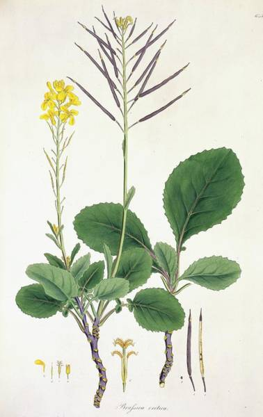 Wall Art - Photograph - Brassila Cretica Plant by Natural History Museum, London/science Photo Library