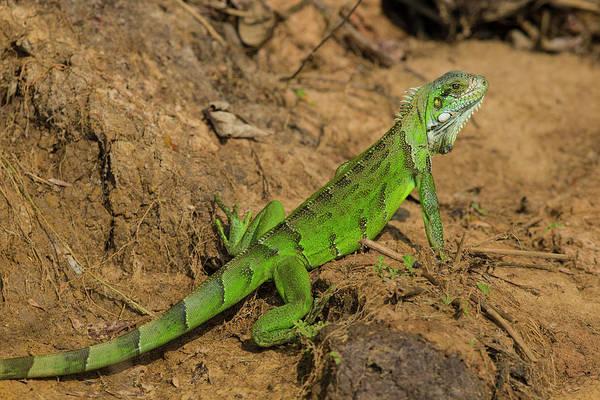 Green Iguana Wall Art - Photograph - Brazil A Green Iguana (iguana Iguana by Ralph H. Bendjebar