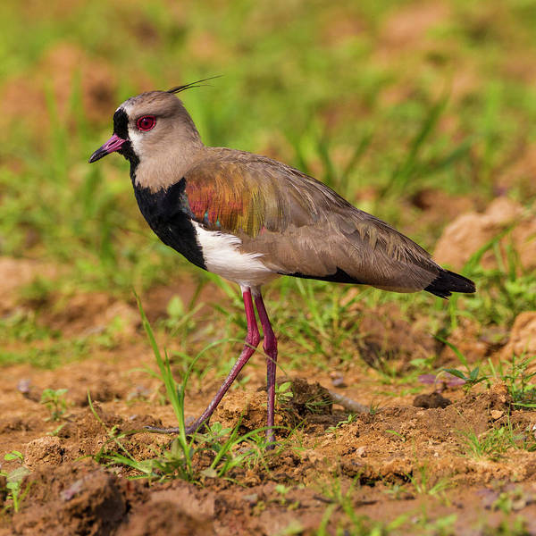 Brazil A Southern Lapwing Foraging Art Print
