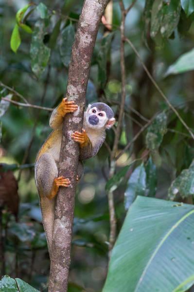 Leaf Monkey Wall Art - Photograph - Brazil, Amazon, Manaus, Common Squirrel by Ellen Goff