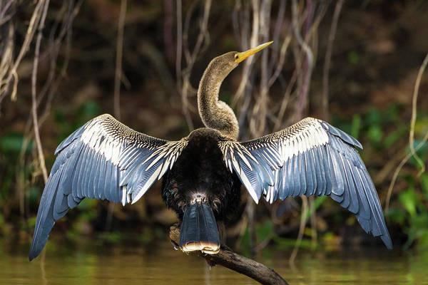 Anhinga Photograph - Brazil An Anhinga Drying Its Wings by Ralph H. Bendjebar