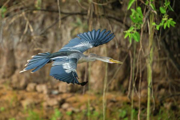 Anhinga Photograph - Brazil An Anhinga Flying Along A River by Ralph H. Bendjebar