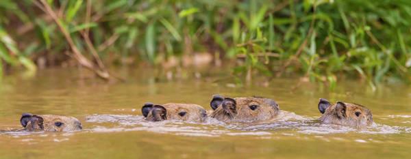 Wall Art - Photograph - Brazil Capybara Family Swimming by Ralph H. Bendjebar