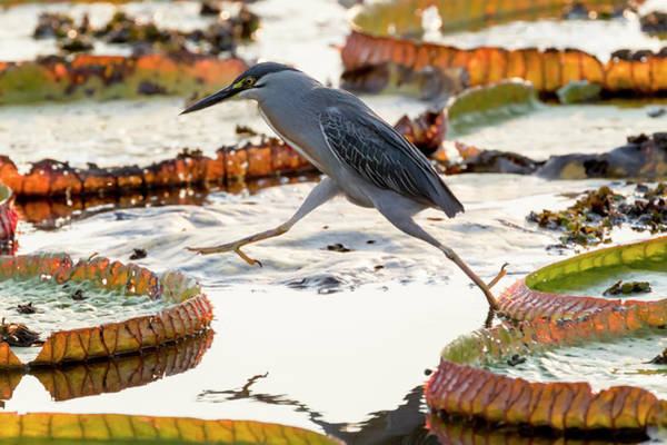 Victoria Amazonica Wall Art - Photograph - Brazil, The Pantanal, A Striated Heron by Ellen Goff