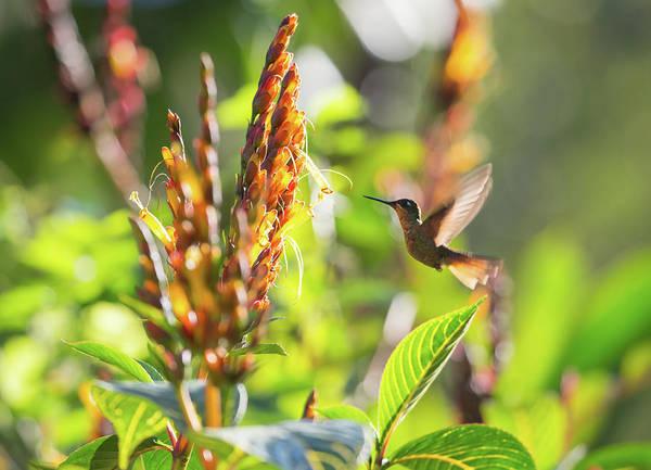 Wall Art - Photograph - Brazilian Ruby Hummingbird, Clytolaema by Alex Saberi