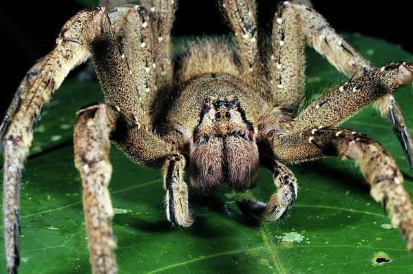 Wanderings Photograph - Brazilian Wandering Spider by Sinclair Stammers/science Photo Library