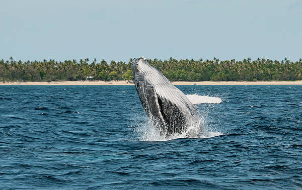 Scuba Diving Photograph - Breach In Front Of Uoleva by By Wildestanimal