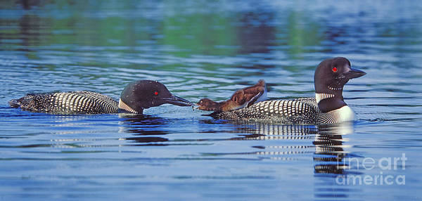 Loon Photograph - Breakfast In Bed by Jim Block