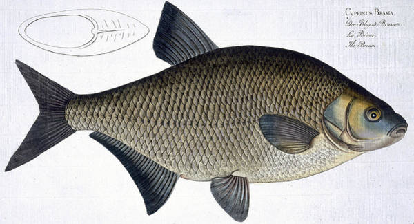 Angler Wall Art - Painting - Bream by Andreas Ludwig Kruger
