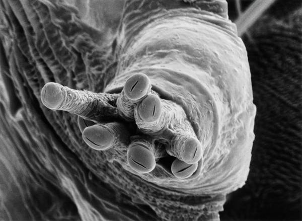 Pupa Photograph - Breathing Tube On A Fruit Fly's Pupa by Dr Jeremy Burgess/science Photo Library.