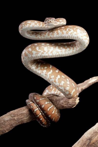Bredl's Python Art Print