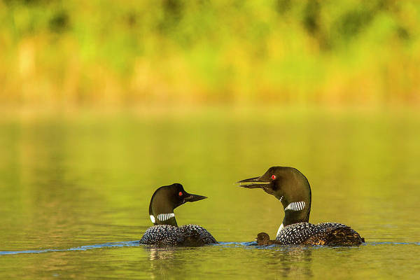 Loon Photograph - Breeding Pair Of Common Loons by Chuck Haney