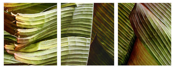 Wall Art - Photograph - Breeze - Banana Leaf Triptych by Ben and Raisa Gertsberg