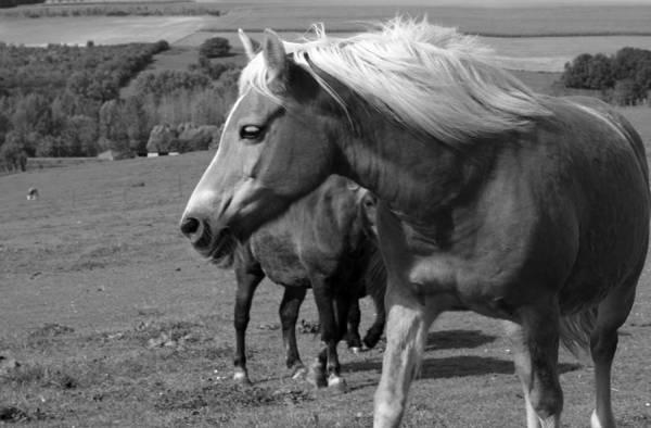 Photograph - Breton Horse Portrait by Aidan Moran