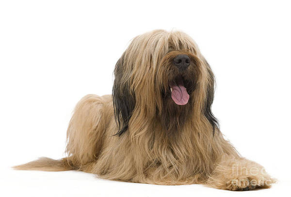 Laying Out Photograph - Briard Sheepdog by Jean-Michel Labat