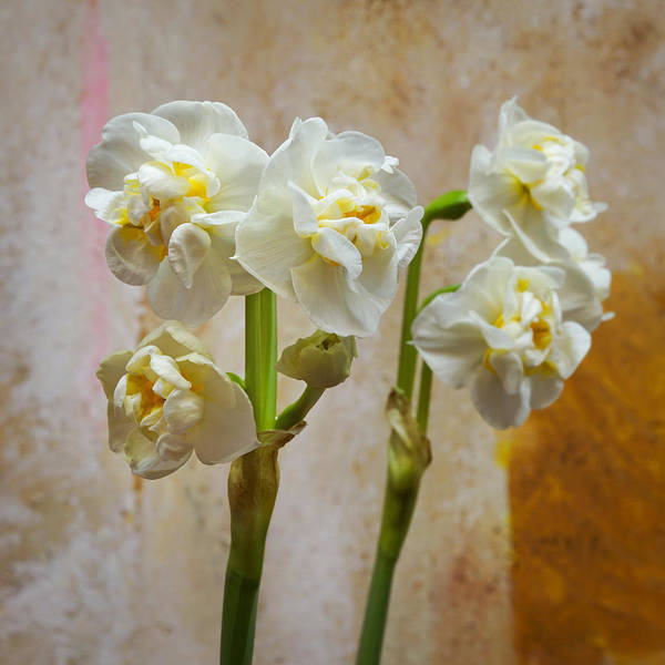 Photograph - Bridal Crown Narcissus Double by Lutz Baar