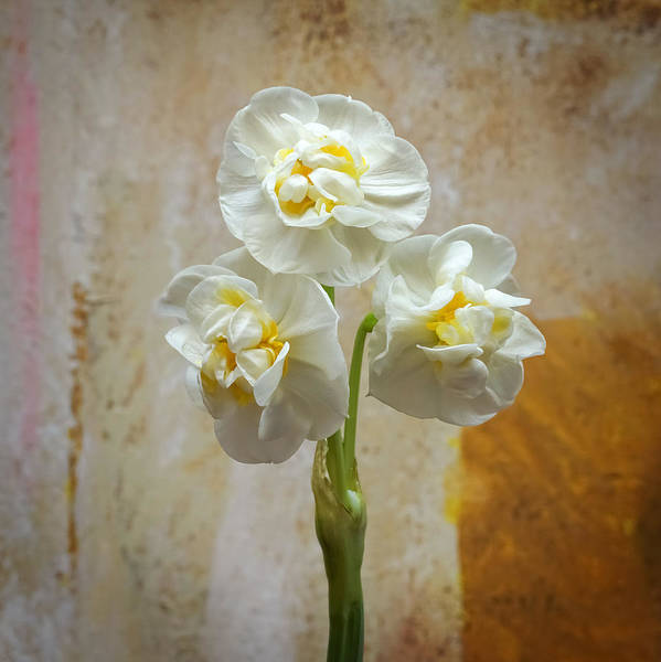 Photograph - Bridal Crown Narcissus Square by Lutz Baar