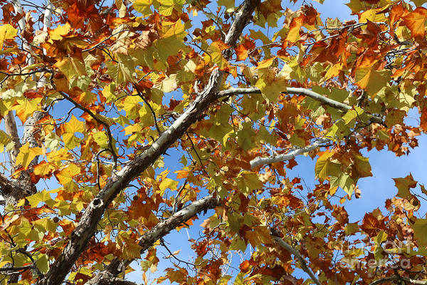 Photograph - Bright And Beautiful Sycamore Leaves by Carol Groenen