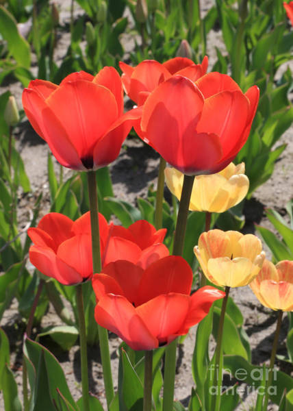 Photograph - Bright And Cheerful Tulips by Carol Groenen