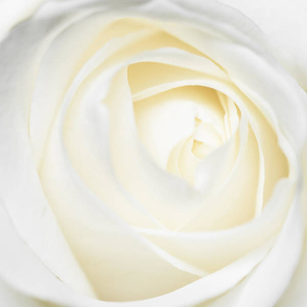 Photograph - Bright And Soft White And Yellow Rose Petals by Matthias Hauser