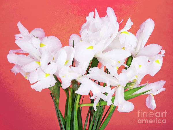 Photograph - Bright And White-1 by Larry Oskin