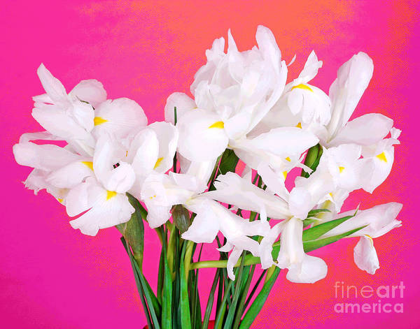 Photograph - Bright And White Iris-2 by Larry Oskin