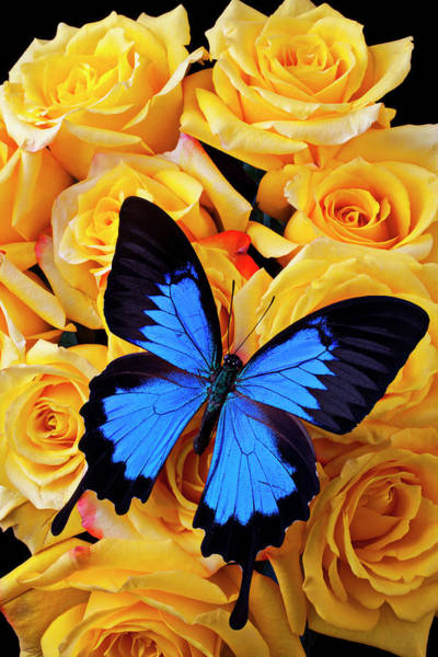 Black Background Photograph - Bright Blue Butterfly On Yellow Roses by Garry Gay