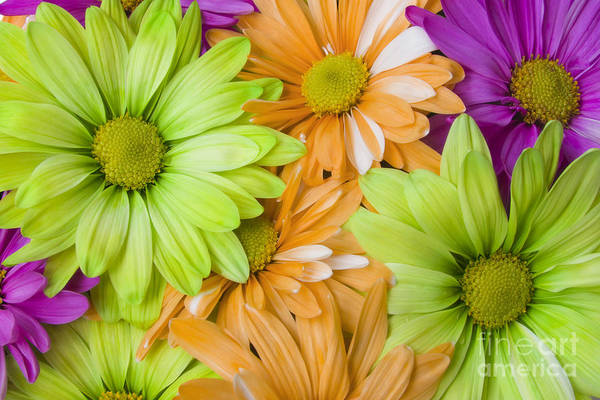 Photograph - Bright Daisies by Jill Lang