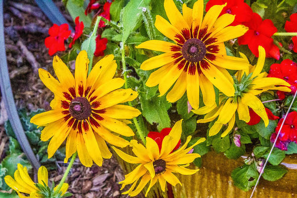Digital Art - Bright Daisies by Photographic Art by Russel Ray Photos