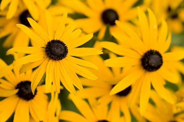 Photograph - Bright Eyes Black Eyed Susan by Denise Beverly