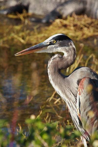 Alligator Alley Photograph - Bright Eyes by Gary Ezell