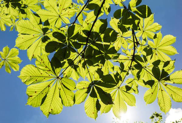 Photograph - Bright Green Leaves And Blue Sky In Spring by Matthias Hauser