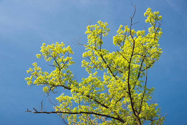 Photograph - Bright Green Tree And Blue Sky - Colors Of Early Spring by Matthias Hauser