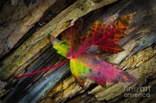 Photograph - Bright Leaf by Michael Arend