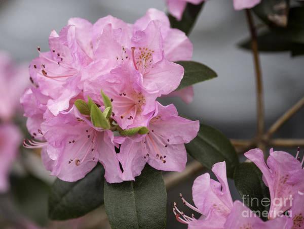 Azalia Photograph - Bright Pink Azalea by Arlene Carmel