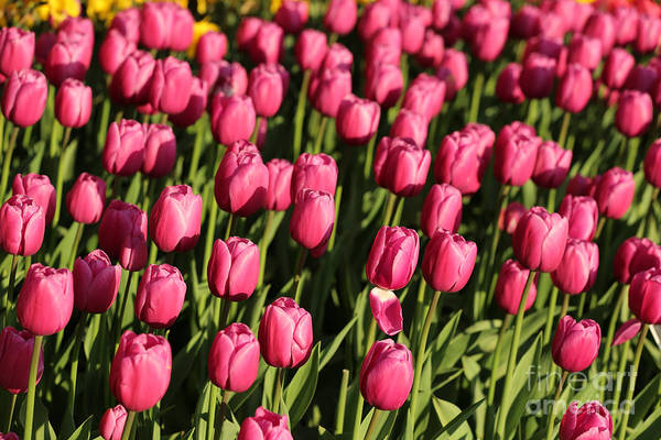 Photograph - Bright Tulips by Carol Groenen