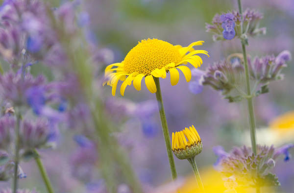 Photograph - Bright Yellow And Purple Flowers On A Beautiful Summer Meadow by Matthias Hauser