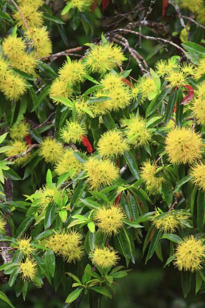 Far North Queensland Wall Art - Photograph - Bright Yellow Wattle Flowers Bloom by Paul Dymond