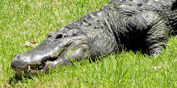 Photograph - Brighteyes Gator by Bob Slitzan