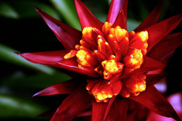 Photograph - Brilliant Bromiliad by David Coblitz