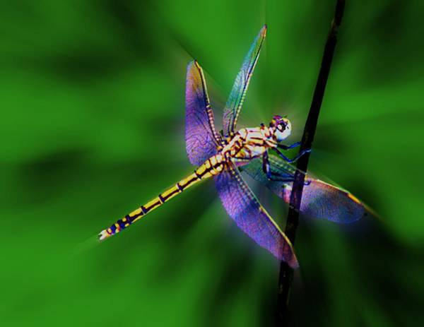 Photograph - Brilliant Dragonfly by David Rich