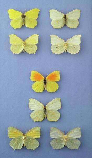 Brimstone Photograph - Brimstone And Cleopatra Butterflies by Natural History Museum, London/science Photo Library